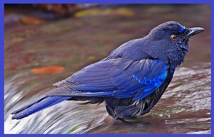 Sinyaya ptica
